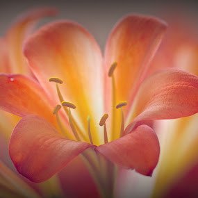 by Randall Langenhoven - Nature Up Close Flowers - 2011-2013 ( macro, nature, clivia, flower, close )