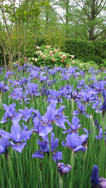 Photo: Iris sibirica 'Llewellyn'