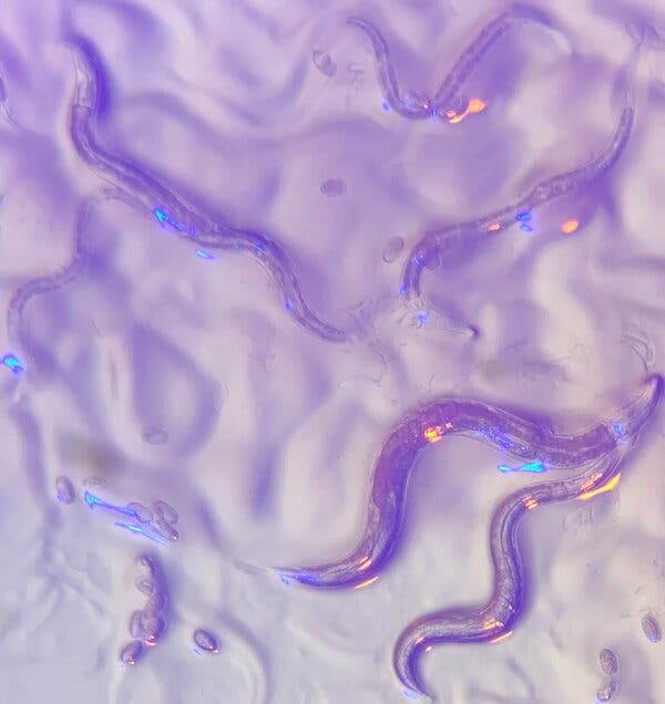 In an experiment, the blind roundworm C. elegans did not try to wriggle away from a beige version of the P. aeruginosa bacterium, which can kill it and is usually colored bright blue.