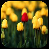 Tulips Video Live Wallpaper