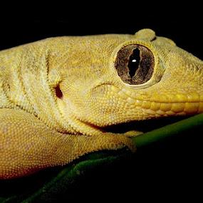 Gecko Smile by Bhavya Joshi - Animals Reptiles ( nature, gecko, wildlife, house, smile, lizards )