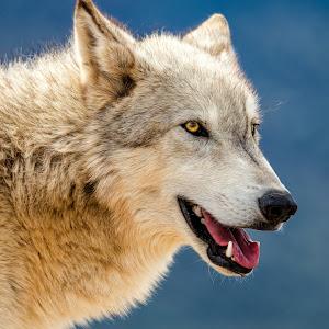 Gray Wolf-35.jpg