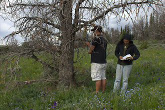 Photo: Dash and Keala collecting data on a dead whitebark pine
