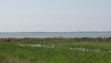 Photo: Rice field right next to the Deltebre lagoon - fishermens' platforms run along the horizon