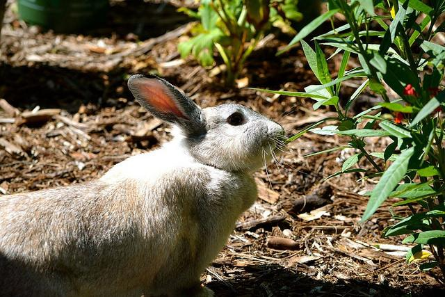 Image result for american chinchilla eating