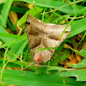 Common grass moth