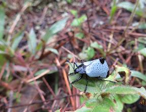 Photo: 'Grey-blue' beetle