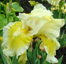 Photo: falbaniasty kremowo -żółty
