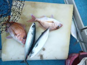 Photo: 朝一からフォースキャッチ! 真鯛2枚とサバ2匹!