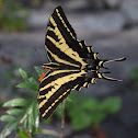 Western tiger swallow tail butterfly