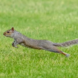 Take Off by Debbie Quick - Animals Other Mammals ( debbie quick, nature, outdoor photography, nature up close, nature lovers, natures best shots, debs creative images, new york, outdoor magazine, wildlife photography, squirrel, outdoors, mammal, animal photography, rodent, animal, dutchess county, wild, hudson valley, nature photography, poughkeepsie, wildlife,  )