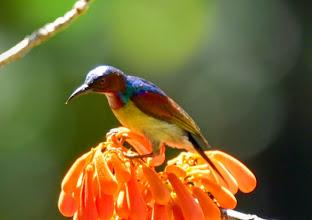 Photo: Red-throated Sunbird (Anthreptes rhodolaemus)