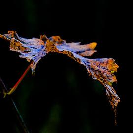 Leaf by Espen Rune Grimseid - Nature Up Close Leaves & Grasses ( closeup, nature, autumn colours, autumn leaves, leaf, canon,  )