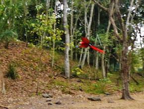 Photo: Hellroter Ara (Ara macao, Scarlet Macaw) im Ruinenfeld von Copán.