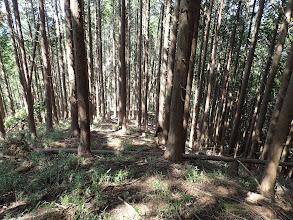 植林に出ると笹はなくなる