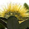 Rare Yellow Pohutukawa