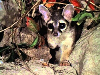 Ringtailed Rascals