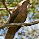 Brown Cuckoo-dove (female)