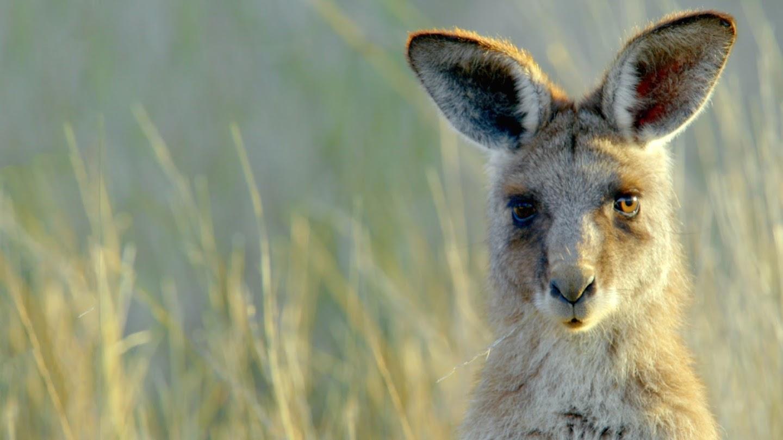 Watch Secret Life of the Kangaroo live