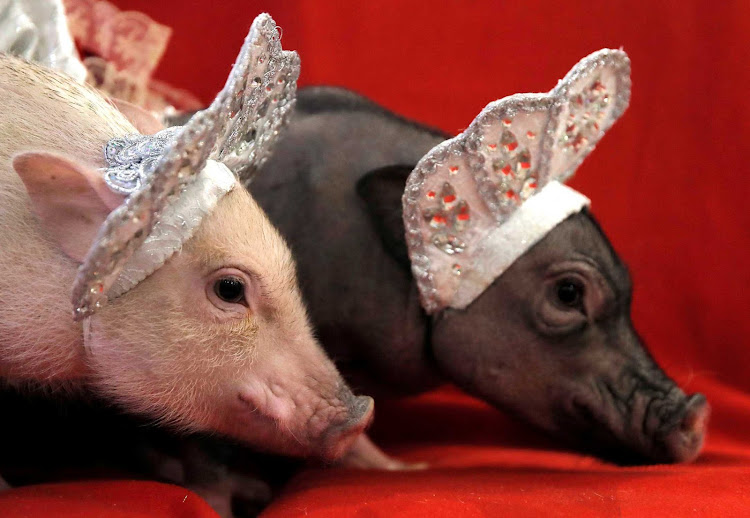 Mini-pigs are seen during a presentation in Balashikha, Russia.