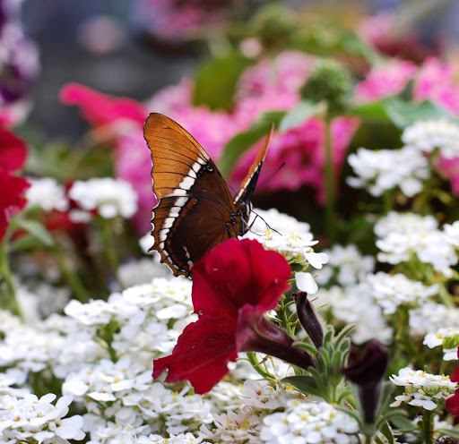 butterfly-san-diego.jpg - See dozens of kinds of butterflies at the San Diego Safari Park.