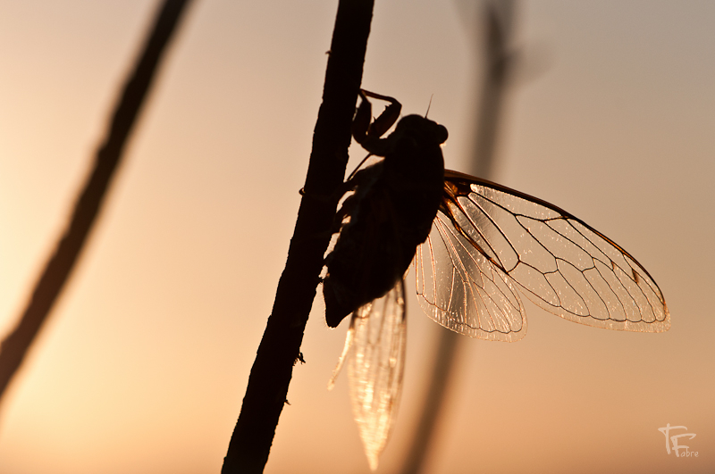 Photo: Cigale  They planned a very warm time for the next days, so I won't move to much and stay at home... I wonder if cicadas are going to rest or not :-)  Wish you all a nice week end !  #silhouettesonthursday   #sunsetsaturday
