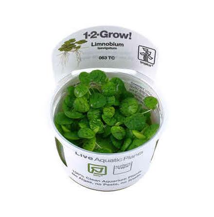 Limnobium Laevigatum 1-2 grow