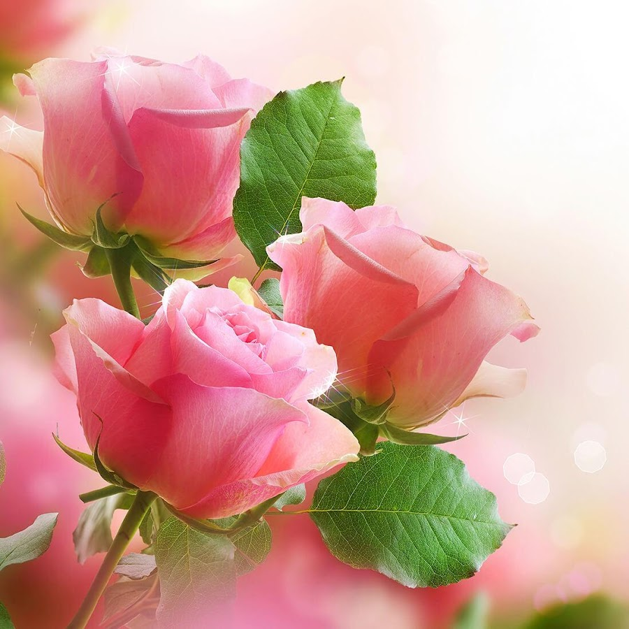 Pink Rose Live Wallpaper Android Apps On Google Play