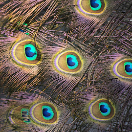 Peacock Feathers - Arnhem by Fiona Etkin - Abstract Patterns ( bird, nature, pattern, abtract, feathers, peacock, animal, eyes,  )