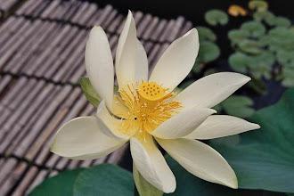 Photo: Fleur de lotus à Kamakura au Japon
