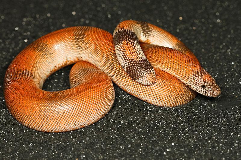 File:Smooth-scaled Indian Sand Boa (Eryx johnii).JPG