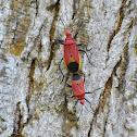 Stink Bug / Red Bug