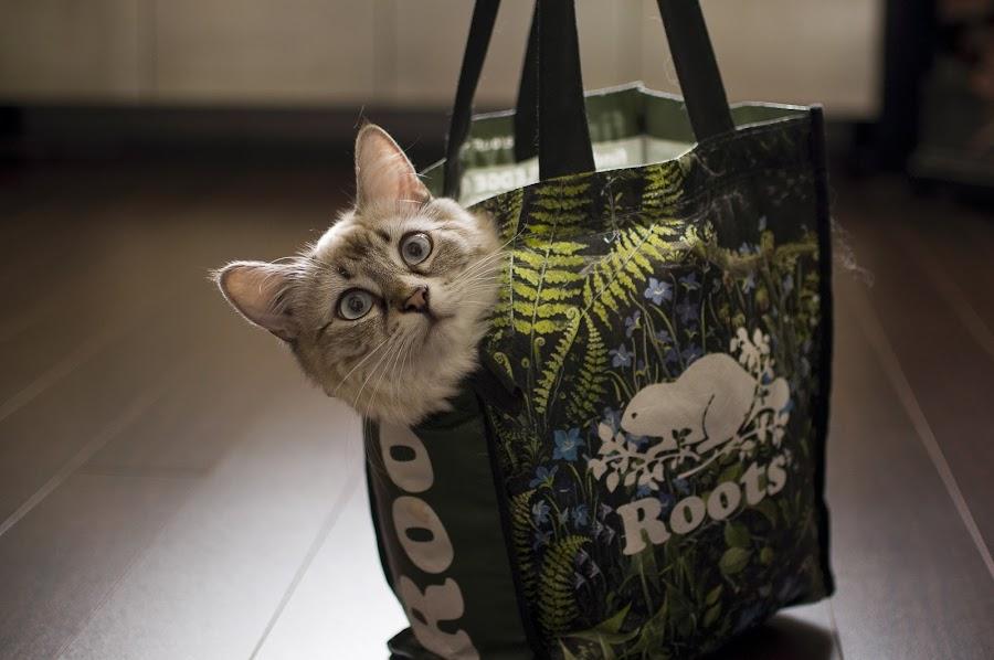 Lovely in The Bag by Ryan Li - Animals - Cats Portraits ( kitten, cat, bag, white, funny, lovely, interesting, animal )