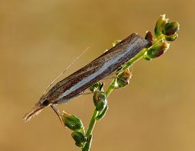Photo: Agriphila tristella  http://lepidoptera-butterflies.blogspot.com/
