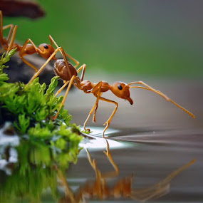 ReflectiANT #2 by Teguh Santosa - Animals Insects & Spiders ( reflection, macro, ants )