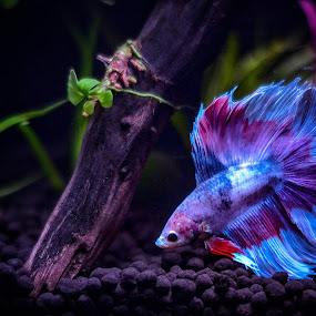 Betta splendens  by Abdul Salim - Animals Fish