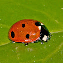 Seven spot ladybird