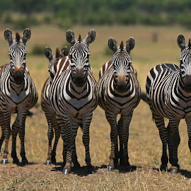 We know you ! by Anthony Goldman - Animals Other Mammals ( zebra, burchell`, mammal, naturemtanzania, east africa, eye contact, herd, wildlife,  )