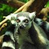 Ring- tailed lemur
