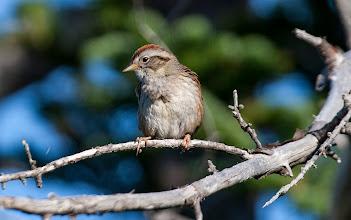 Photo: Swamp Sparrow, Bidgoods Park