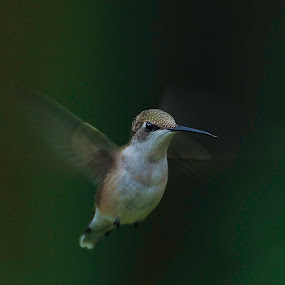 Angry Bird by Mike Scott - Animals Birds ( hummingbird, sc, low light, slow shutter, hummer )