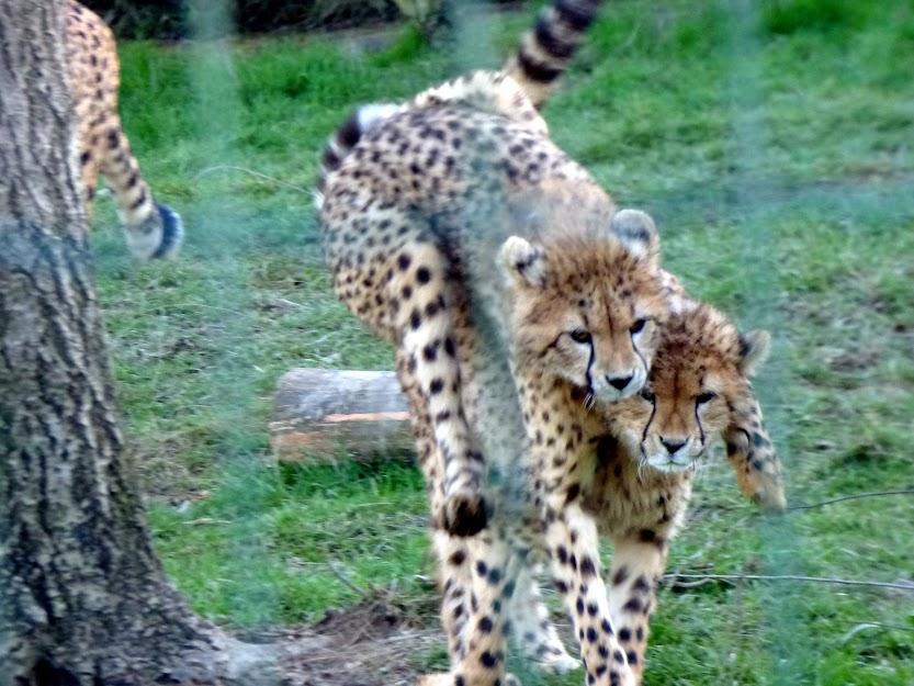 Deux des jeunes guépards