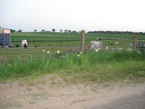 Photo: Horses grazing across the road from our cottage in Swanton Morley, Norfolk