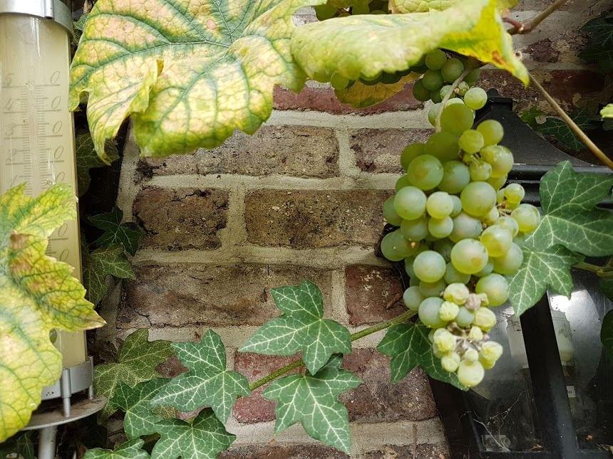 De druivelaar bij buurvrouw Agnes