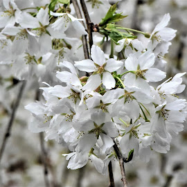 by Koh Chip Whye - Flowers Tree Blossoms (  )
