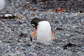 Photo: Gentoo Penguin