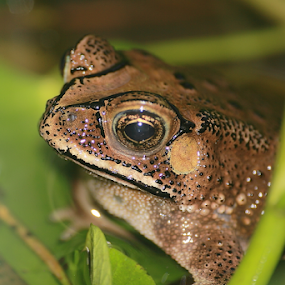 Asian Common Toad by Deny Afrian Wahyudi - Animals Amphibians ( frog, nature, species, amphibia, toad )
