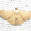 Small wave moth