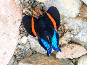 Photo: BLUE-AND-YELLOW BEAUTYMARK--ancyluris inca formosa--RIO CHALUAYACU--A MOST WANTED SPECIES