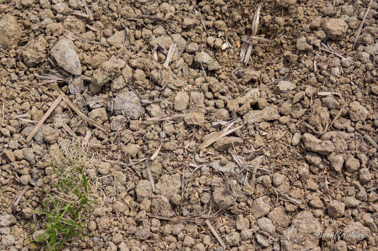 2017年に撒いたワラの堆肥が混じったハウスの土壌